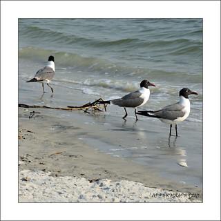 Black Headed Gulls (Chroicocephalus ridibundus)