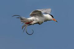 Shake it off (Forster's tern) (bodro) Tags: bolsachica forsterstern beautifulbird bird birdinflight birdphotography ecologicalreserve feathers nature shakeitoff shallows tail wetlands