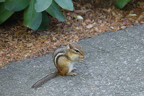 """Little Striped Chipmunk • <a style=""""font-size:0.8em;"""" href=""""http://www.flickr.com/photos/52364684@N03/34818225986/"""" target=""""_blank"""">View on Flickr</a>"""