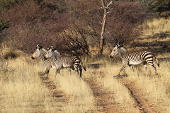 Hartmann's Mountain Zebra, Gemsberg, Namibia October 2014 (Sterna999) Tags: hartmannsmountainzebra equuszebrahartmannae gemsberg karibib namibia südafrika afrika africa mountainzebra bergzebra