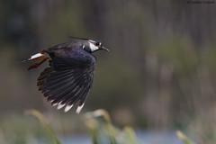 Lapwing in flight (uusija) Tags: lapwing vanellusvanellus bird linnut luonto nature töyhtöhyyppä
