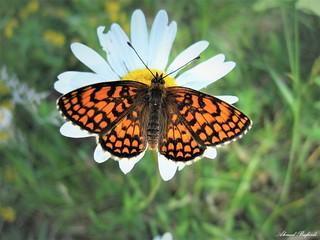 Butterfly 1321