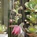 Echeveria gigantea (collage)