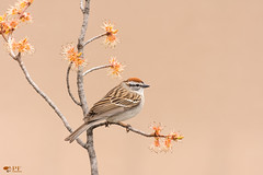 ''Harmonie!'' Bruant famillier- Spizella passerin (pascaleforest) Tags: oiseau bird passion nikon nature wild wildlife québec canada faune animal printemps spring