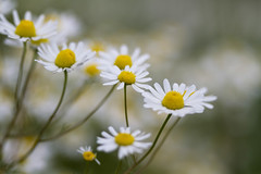 On the country side. 008 (George Ino) Tags: copyright georgeino georgeinohotmailcom thenetherlandshollandnederland utrecht platteland campagna campanha campagne gefilde land landsbygd landsort dofbokeh depthoffield macro flower flora flor floração efflorescence bloem daisy margriet wit white voorjaarspringfrühjahrprintempsprimavera lente leucanthemumvulgarechrysanthemumleucanthemum gewonemargriet oxeyedaisy landscape landschap
