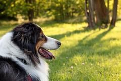 Yellowness (barbibuza) Tags: dog yellow woods forest australianshepherd portrait dogportrait mydog love canon1300d dogwalking nature beautiful feeling