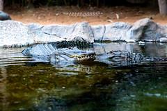 Alligatori Loro Park Tenerife (Andreas Gerber) Tags: alligatori loro park tenerife andreas acqua animali animal gerber green water wasser sasso stone reflections rettile rettili coccodrillo parco spagna spain isola isole canon canoneos50d canonefs1022mmf3545usm canoneos canarie reptile nature natura natur