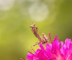 Some Like It Hot (Kathy Macpherson Baca) Tags: explore animal animals macro mantis mantid deadleaf planet wildlife nature world insect flower tiny invertabrate entomology bokeh predator bug bugs praying