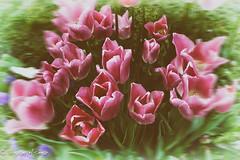 Turkey Istanbul (Tulip Garden) (bryanasmar) Tags: tulip istanbul turkey fuji xt20 xf1655 28