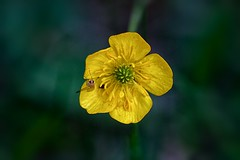 24 Carat Gold (keith_fannon) Tags: gold yellow buttercuo weed nature garden buttercup canon inesect fly