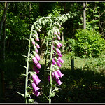 Common Foxglove purpurea thumbnail