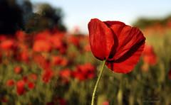 Campo de amapolas (Rabadán Fotho) Tags: amapola amapolas campodeamapolas flor floración flores rojo rojoamapola campo silvestre poppy poppies field dream blur bokeh flower