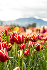 IMG_2308 (kattwyllie) Tags: flowers tulips nature landscape mountains bc britishcolumbia canada abbotsford tulipfestival flowerfestival abbotsfordtulipfestival canon50mm canonphotography naturephotography travel canadaphotography bcphotography mountainphotography landscapephotography macrophotography