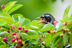 gag me with a berry (karrooite) Tags: robin americanrobin turdusmigratorius birds gulp serviceberry