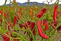 Chili or chile or chilli.  New Mexico, USA. (cbrozek21) Tags: chili chile chilli fruit paprika pepper aztec newmexico