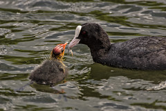 Motherhood (Jonathan Goddard1) Tags: pentax k3ii buckinghamshire nature wildlife animals creatures life birds water waterfowl coots coot fulica atra chicks chick baby babies parenting parenthood motherhood feeding