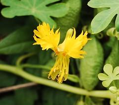 Tropaeolum peregrinum (longk48) Tags: tropaeolum peregrinum