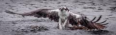 Osprey Lift Off (Vic Zigmont) Tags: birds osprey raptor birdinflight ospreywithfish ospreywithprey
