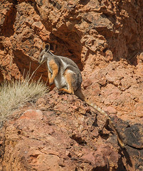 Yellow Footed Rock Wallaby (shashin62) Tags: australia southaustralia outback ranges flindersranges rawnsleypark arkaroola fauna wildlife wallaby yellowfootedrockwallaby