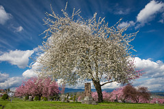 Cemetary Blossoms (Harry2010) Tags: spring blossoms cherry apple pink white newwestminster cemetary headstone bluesky clouds