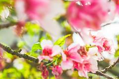 DSC_4495 (Frankie Tseng (法蘭基)) Tags: yms taipei taiwan flower flowers nikon cherryblossoms summer spring 2017 abstract blur bw bwphotography blackwhite yangmingshan 台北 櫻花 陽明山 台灣 抽象
