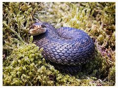 B57I5595-Adder,-Vipera-berus (duncancooke.happydayz) Tags: snakes snake adder vipera berus hay bridge reptile reptiles uk british wildlife