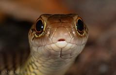 Lesser Black Whip Snake (Demansia vestigiata) (Mattsummerville) Tags: whipsnake lesserblackwhipsnake snake elapid venomous demansiavestigiata punsandbay capeyork queensland fast australia seisa