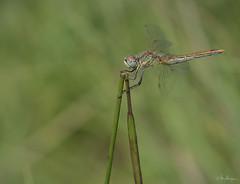 Dragonfly (Oly User) Tags: kaiserstuhl omdem5markii olympus thomasmeinersmann urlaub 60mmf28macro macrounlimited libelle dragonfly
