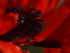 Mohn (reuas ogni) Tags: mohn puppy blume flower blüte blossom natur nature rot red bokeh garten garden olympus zuiko makro macro isoz