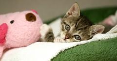 See these bright, shiny eyes? (Kerri Lee Smith) Tags: kittens cats felines kitties tabbies skutch rescuekitten adoption carnegiecatclinic ccc
