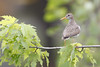 _53F9361 Spotted Sandpiper (~ Michaela Sagatova ~) Tags: birdphotography canonphotography michaelasagatova spottedsandpiper