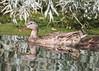 Mama mallard escorts her ducklings (Victoria Morrow) Tags: droh dailyrayofhope
