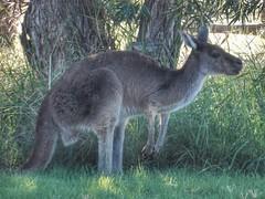 Another Roo (sander_sloots) Tags: western gray kangaroo roo heirisson island perth kangoeroe grey grass