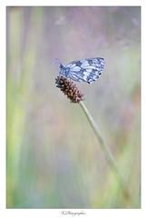 Papillon Echiquier (JG Photographies) Tags: europe france french auvergne allier papillon butterfly macro nature jgphotographies canon 7dmarkii extérieur bordure photo calme insecte