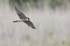 Hobby (Falco subbuteo) (PINNACLE PHOTO) Tags: falcosubbuteo falcon flying hobby hunting dragons dragonfly eating fast reallyfast raptor avian bird birdofprey eurasian feathers flight heathland marsh marshlandinflight low migratory pond water martinbillard canon canon7dii canon500mmf4is handheld