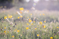 Wild Things (Mirrored-Images) Tags: backlighting bokeh buttercups flora flowers meadows nature northyorkshire outdoor richmond wildflowers