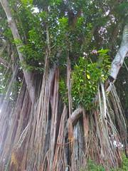 Banyan tree.. (Alvin Gunawan) Tags: banyantree trees oldtree bigtree