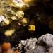 Yellow boxfish in context - Ostracion cubicus