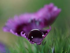 drops (ingrid eulenfan) Tags: macromondays makro drips drops splashes regentropfen tropfen raindrop blume flower bartnelke waterdrop