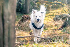Bongo (mikbang) Tags: dog hund norge norway dogportrait angel portrait stange 2017 bongo