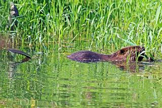 Beaver in City Park 17-0620-7667