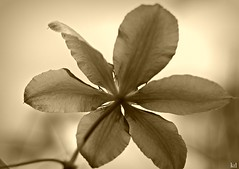 b and w (Kens images) Tags: garden choice individuality canon creativity sepia ruby5
