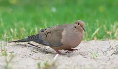 Mourning Dove (Zenaida macroura) (Gavin Edmondstone) Tags: zenaidamacroura mourningdove brontebeach oakville ontario