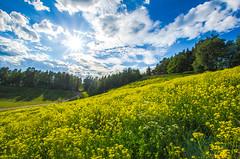 Flowery slope (RdeUppsala) Tags: sunnersta uppland uppsala flores flowers blommor vår paisaje primavera ricardofeinstein moln naturaleza nature natur nubes cielo clouds landscape landskap sverige suecia sweden