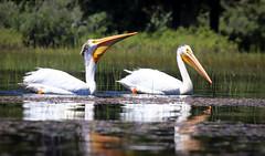 2017-06 Stephen Payne-86.jpg (Stephen_Payne) Tags: birds pelicans lakeofthewoods oregon othertags places lakes