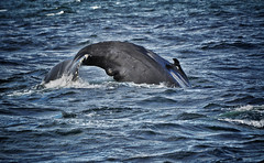 humpback whale in Boston (LK _ Photography) Tags: whale humpback outdoor animal ocean wild