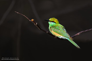 Green Bee-Eater Early morning..