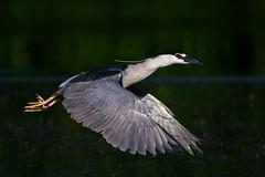 NightFlight (jmishefske) Tags: greenfield nikon d500 nightheron milwaukee adult pond blackcrowned june lagoon westallis wisconsin flight park bif 2017 county bird