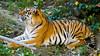 DSC03768 (IgorBratyshko) Tags: tiger zoo kiev kyiv ukraine sony dsch50 тигр зоопарк киев украина