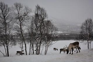 Reindeer winter wonderland (Norway)